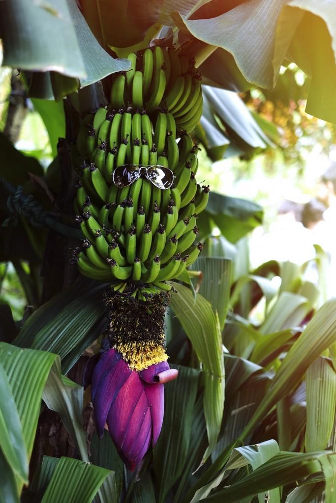 Zayan the label at shinjuku gyoen greenhouse bananas ©-Celia-Humphries©-Celia-Humphries